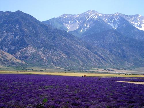 lavender-field-07-07