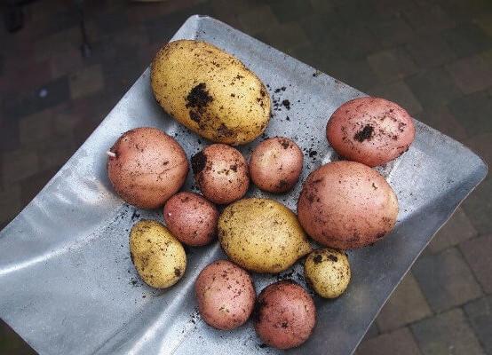 Sind Kartoffel gesund?  –  Gesundheit-Intensiv – Energetiker Ausbildung
