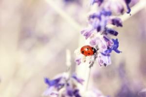 lavender-maikaefer